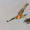Red-tailed Hawk taking off.<br /> (C) Arash Hazeghi, all rights reserved.
