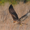 Red-tailed Hawk<br /> (C) Arash Hazeghi, all rights reserved.