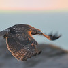 Red-tailed Hawk in twilight<br /> (C) Arash Hazeghi, all rights reserved