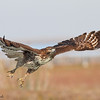 Red-tailed Hawk taking off.<br /> (C) 2009 Arash Hazeghi, all rights reserved.