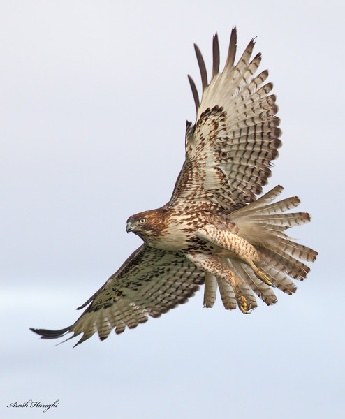 Red-tailed hawk, juvenile. EOS 7D ISO 800.