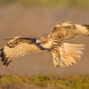 Red-tailed Hawk landing<br /> (C) Arash Hazeghi, all rights reserved.