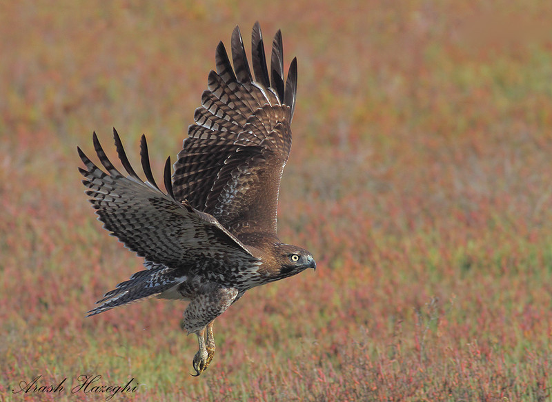Red-tailed Hawk in habitat. EOS 7D, ISO 800.<br /> (C) Arash Hazeghi, all rights reserved.