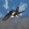 Bald eagles battle over salmon. (c) 2012 Ari Hazeghi, all rights reserved.