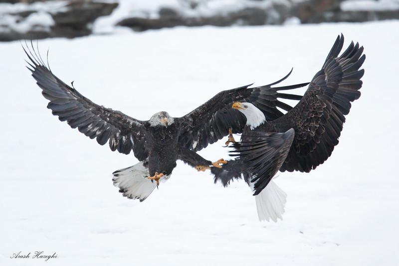 Bald eagle battle