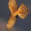 Northern Harrier: Female diving with fanned tail to help her bank. Photo copyright 2010 Arash Hazeghi, All rights reserved.