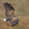 Northern Harrier (female) banking position<br /> (C) Arash Hazeghi, all rights reserved.