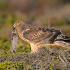 Perched Harrier with prey.<br /> (C) Arash Hazeghi, all rights reserved.