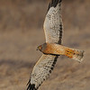 Northern Harrier banking.<br /> (C) Arash Hazeghi, all rights reserved.