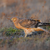 Perched Harrier.<br /> (C) Arash Hazeghi, all rights reserved