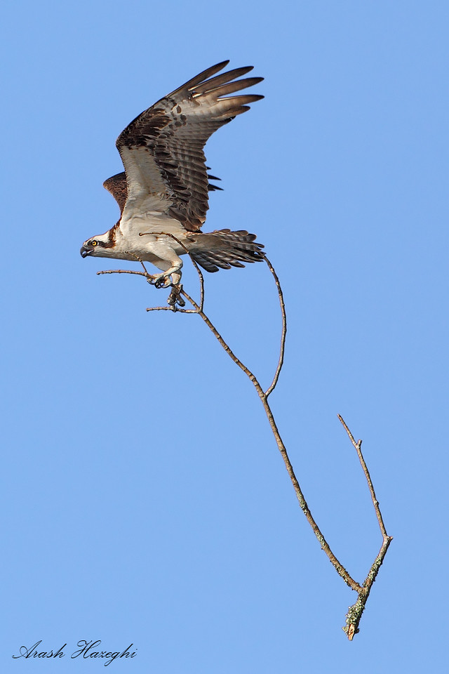 Osprey with oversize load.