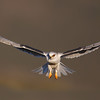 white-tailed kite morphing juvenile.