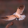 Landing white-tailed kite in last light