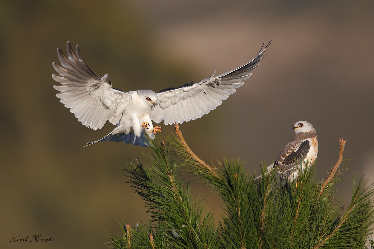 Adult (landing) and Juvenile (perched) white-tailed kite