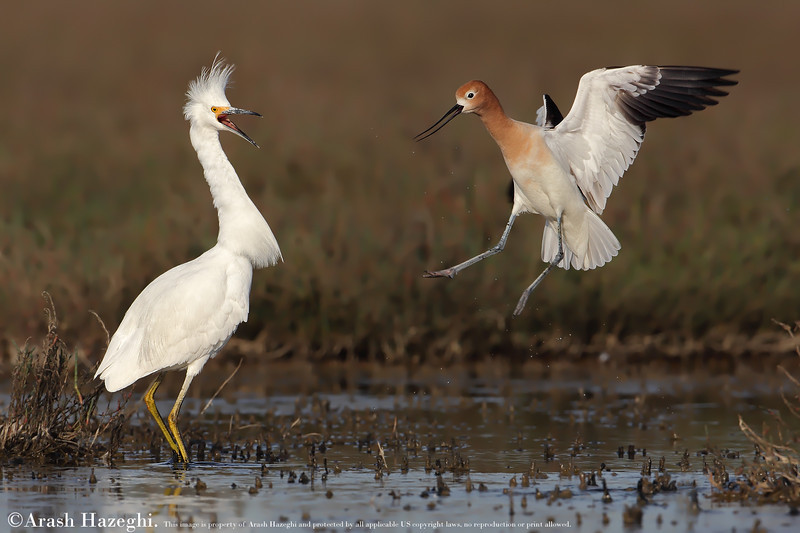 American Avocet defending his breeding ground against snowy egret. (C) 2010 Arash Hazeghi, All rights reserved.