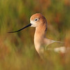 American Avocet in breeding plumage, marsh habitat in spring. (C) 2010 Arash Hazeghi, all rights reserved.