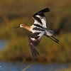 Young American Avocet in habitat. (c) 2010 AH, all rights reserved.