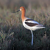 Avocet with breeding plumage in winter habitat. (c)2010 Arash Hazeghi, all rights reserved.