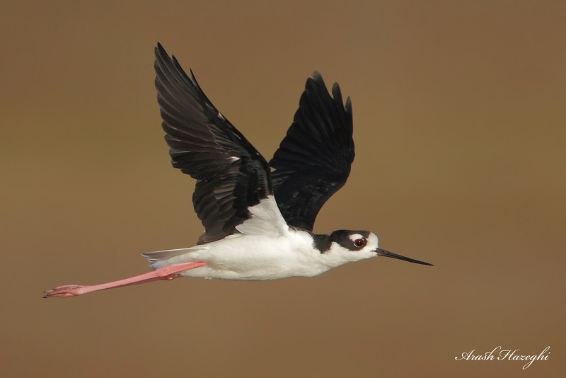 Black-necked stilt. (c)2010 Arash Hazeghi, all rights reserved.