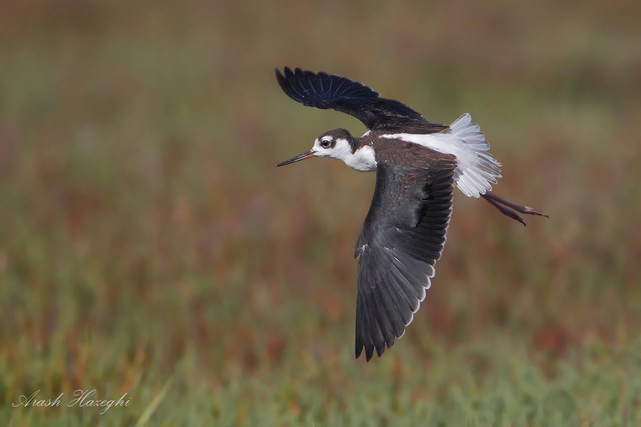 Juvenile Black-necked Stilt in flight.