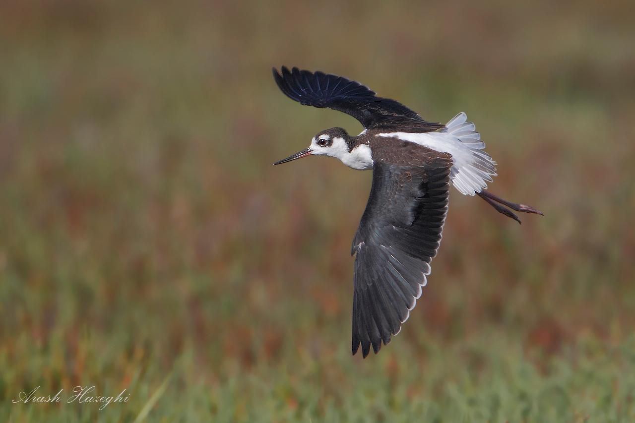 Juvenile Black-necked Stilt in flight.