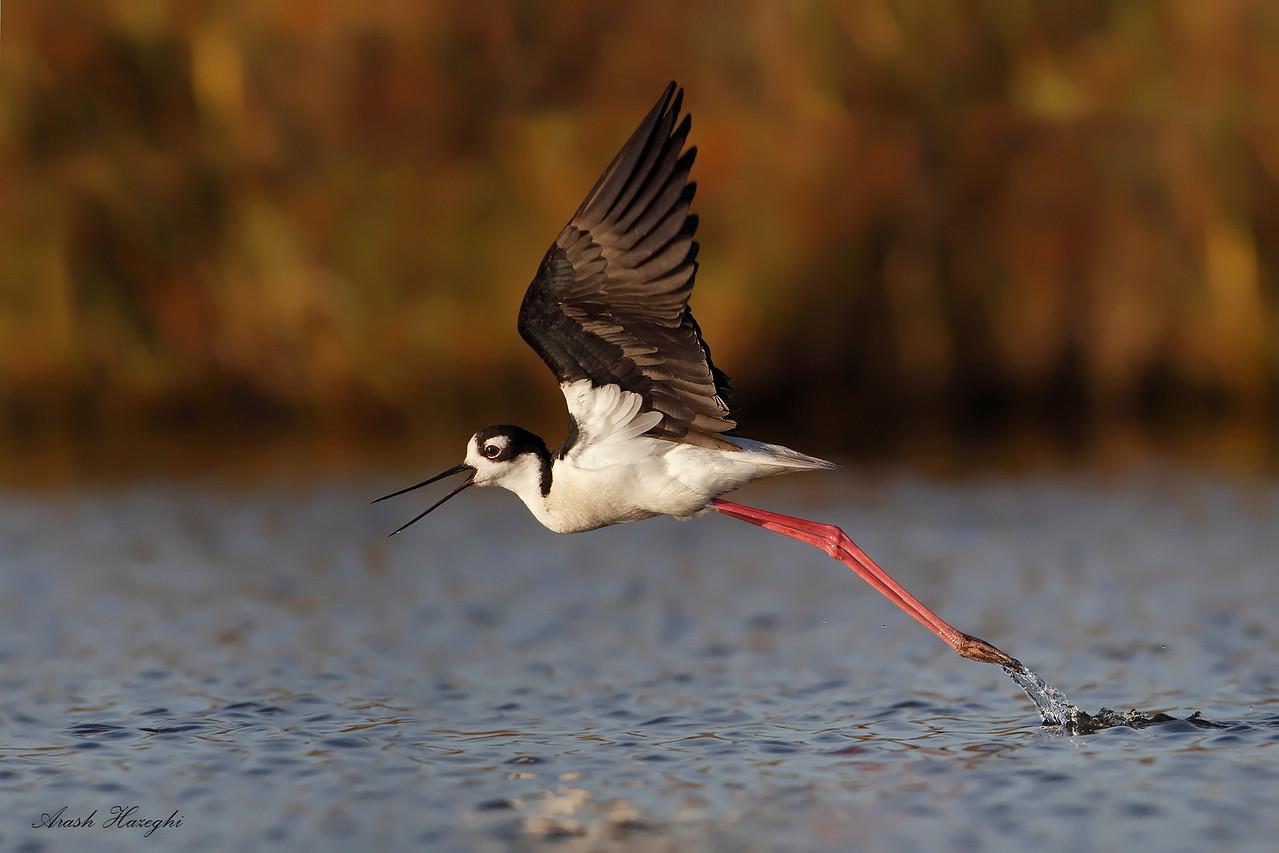Black-necked stilt taking off. (C) 2010 Arash Hazeghi.