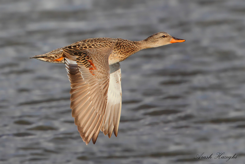 Gadwall in flight. (C) 2010 AH.
