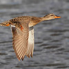 Gadwall in flight. (C) 2010 AH.