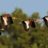 4X Whistling duck synchronized flight!<br /> <br /> (C) 2010, Arash Hazeghi, all rights reserved.