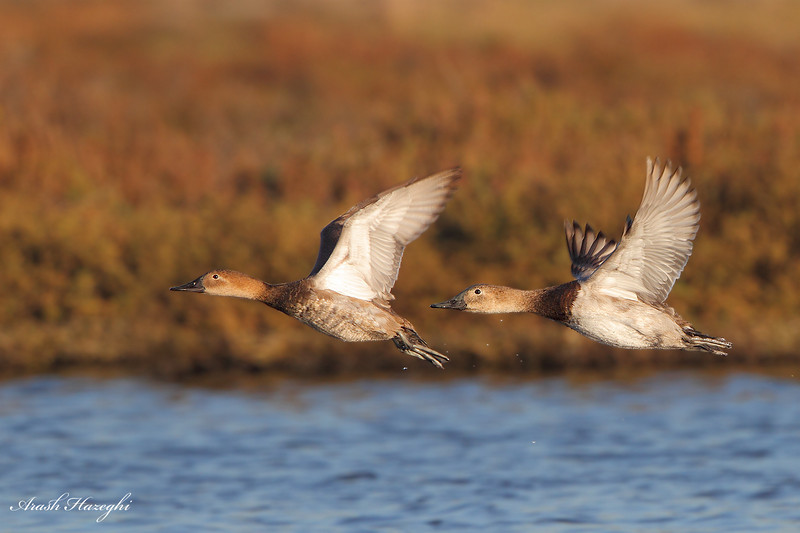Female Canvasback.<br /> (C) Arash Hazeghi, all rights reserved.