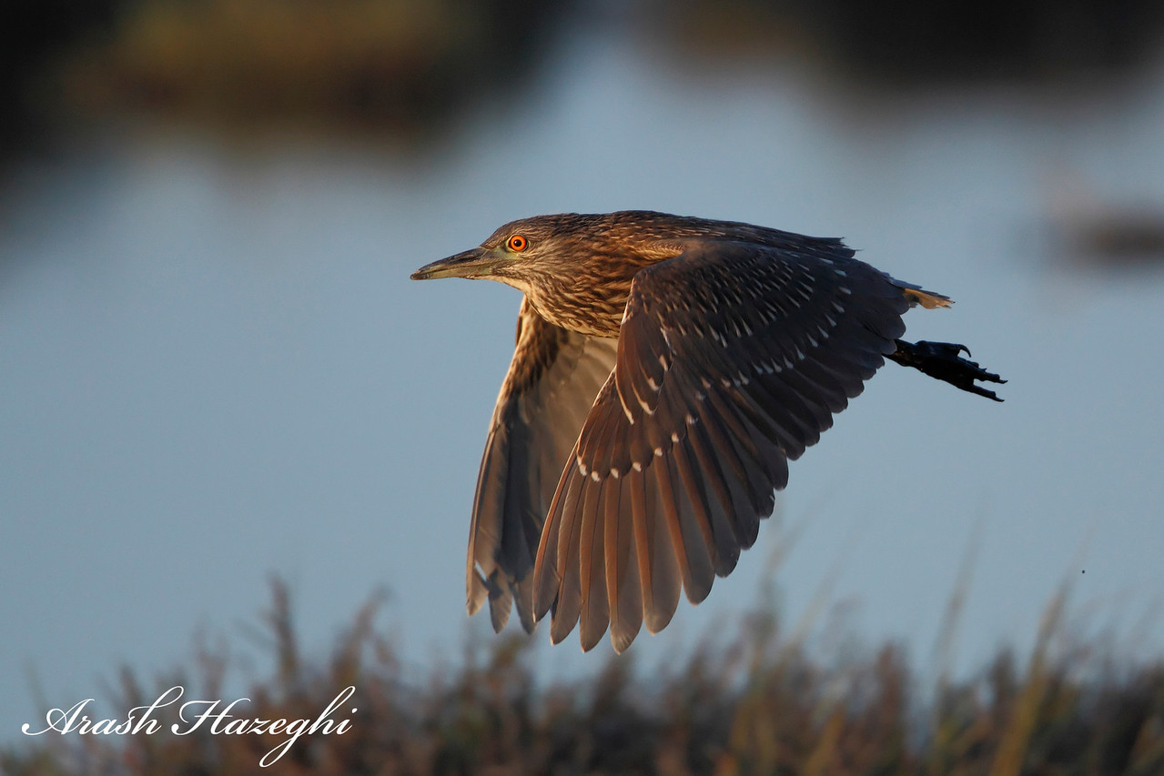 Juvenile black-crowned night heron in habitat.