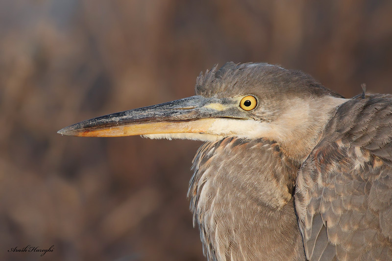Great Blue Heron, EOS 7D ISO 1600.