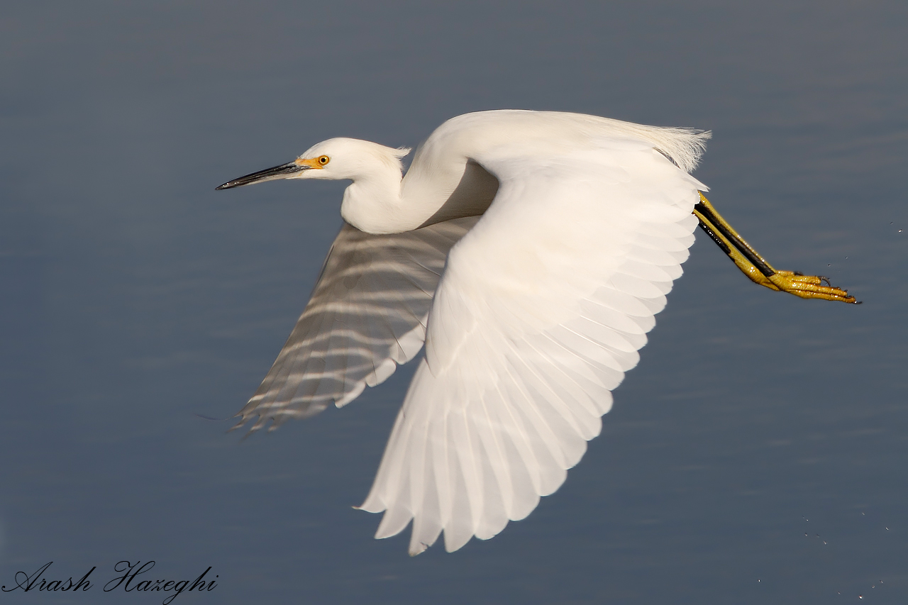 Snowy Egret in flight. copyright Arash Hazeghi, all rights reserved.