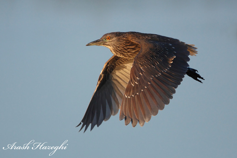 Juvenile Black-crowned night heron. EOS 5D MKII ISO 3200.