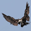 Magnificent Frigate bird (female)