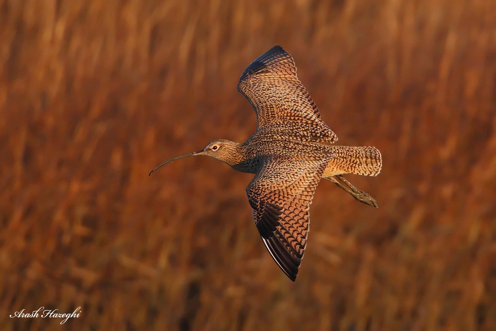 Long-billed curlew in habitat.