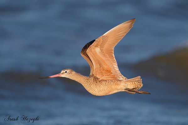 Godwits and Curlews