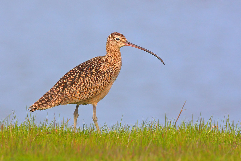 Long-billed Curlew<br /> (C) Arash Hazeghi, all rights reserved.