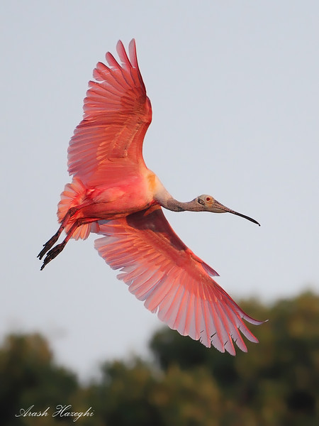 Spoonbill, EOS 5D MKII, ISO 1600.