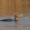 Double-crested Cormorant with fish<br /> (C) Arash Hazeghi, all rights reserved..