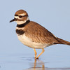 Portrait of a Killdeer, (C) 2009 Arash Hazeghi.