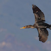Double-crested Cormorant in flight.<br /> (C) Arash Hazeghi, all rights reserved..