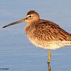 Long-billed Dowitcher<br /> (C) Arash Hazeghi, all rights reserved.