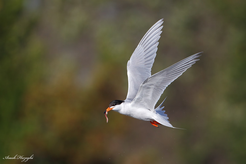 Forster's Tern with small fish