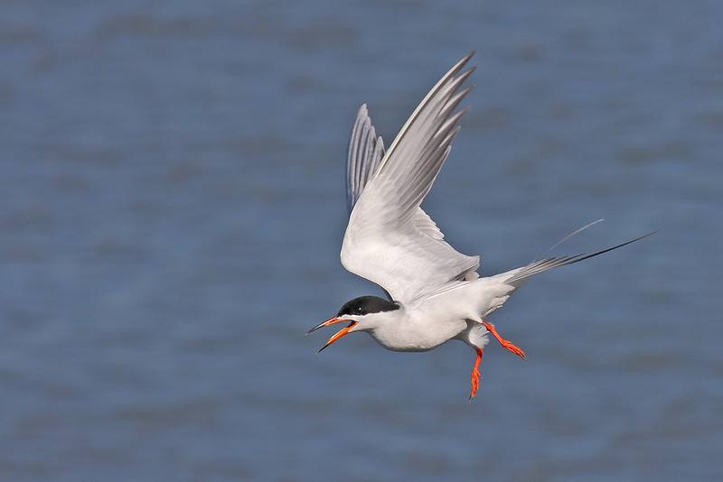 Froster's Tern dive<br /> (C) Arash Hazeghi, all rights reserved..
