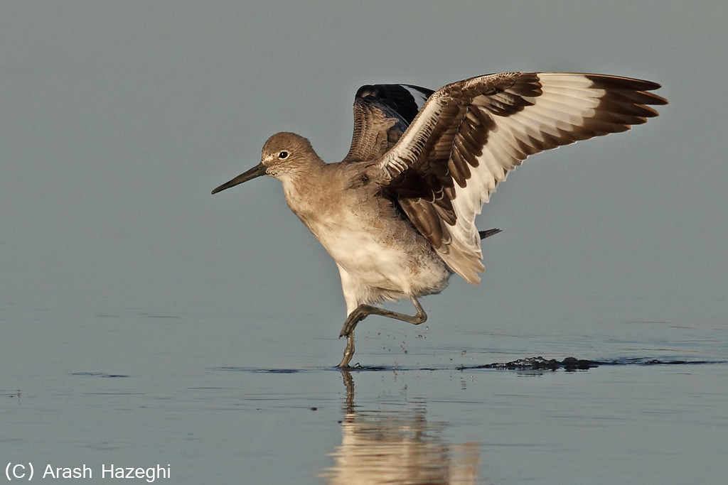 Landing Willet<br /> (C) Arash Hazeghi, all rights reserved.