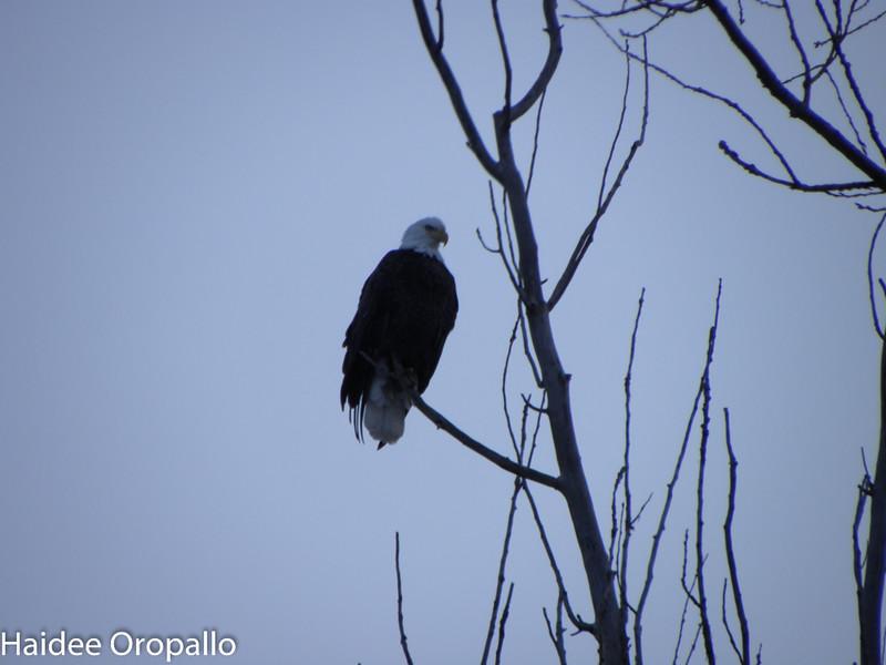 Bald Eagle - Palmyra NY