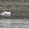 gulls terns2-2
