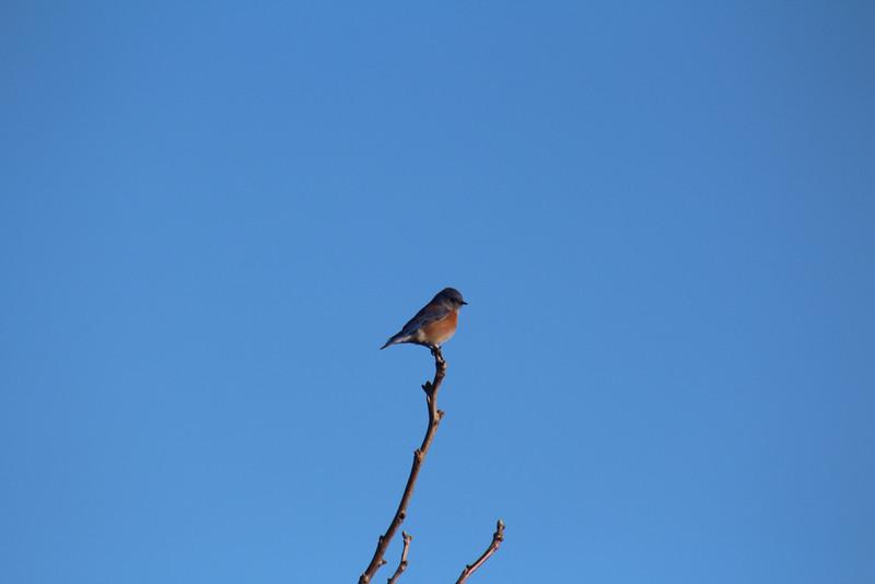 Blue Bird - California