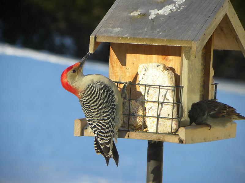 Red Bellied Wodpecker